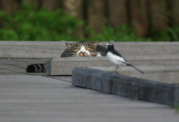 attacking cat